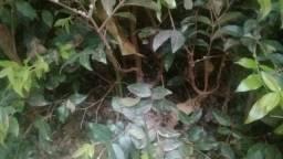 Um lote de mudas de jaboticabas Sabará