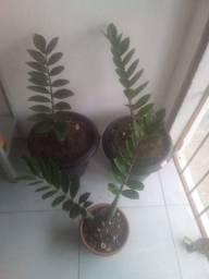 Plantas Ornamentais, Zamioculcas