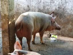 Venda de suinos, porcos para consumo