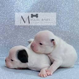 Promoção, filhotes de bulldog francês