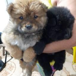 Vende-se filhote de Chow-chow