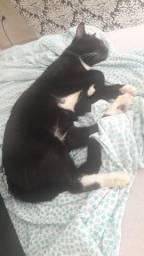 Doação gatinho castrado, vermifugado