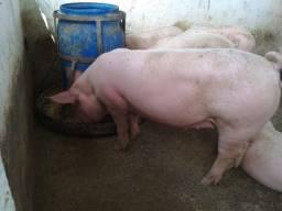 Porco para o Abate - R$ 10 Kg VIVO