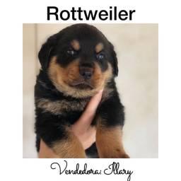 Rottweiler com pedigree e microchip em ate 18x