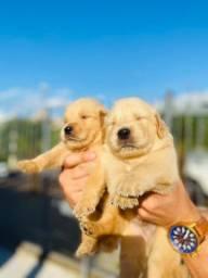 Golden Retriever Filhotes Lindos