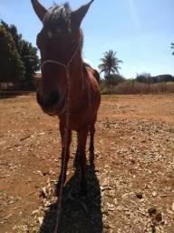 Cavalo e potra para gambirai