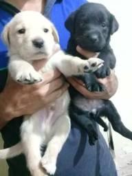 Filhotes de Labrador Retriever a venda