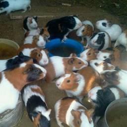 Porcos da Índia