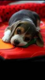 Beagle macho melhor preço