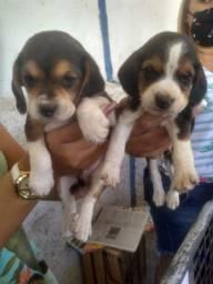 Beagle com pedigree microchip em até 18x