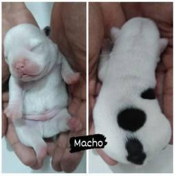 Bulldog frances macho para dia das crianças
