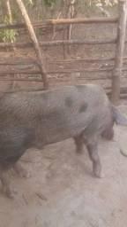 Barrâo reprodutor e porca prenhá ambos com 18 meses.