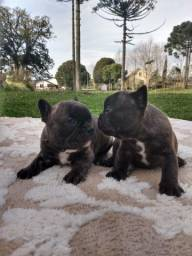 Lindos meninos meninas bulldog francês