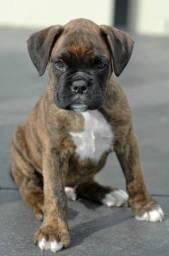 Boxer - Filhotes dourado, branco e tigrado disponiveis