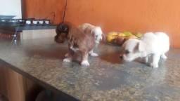 Poodle micro toy fêmea filhote