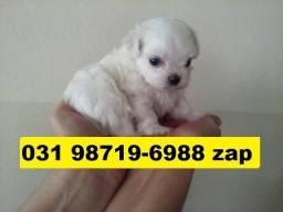 Canil Filhotes Cães Líder BH Maltês Basset Shihtzu Lhasa Poodle Yorkshire Bulldog