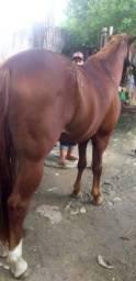 Cavalo mestiço alazão