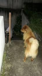 Cão de raça chou chou