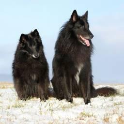 Cães da Raça Pastor belga pelo longo