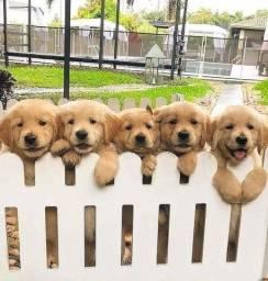 Filhotes de Golden Retriever prontos a entrega