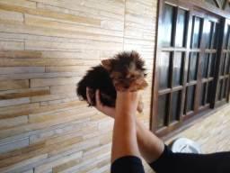 Yorkshire Terrier Machinho super pequeno
