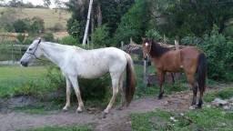 Cavalo castrado marcha batida