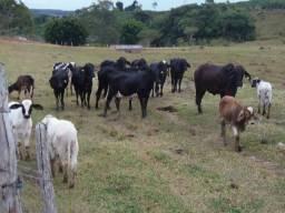 Novilhas girolandas e touro gir leiteiro - oportunidade nesse precinho