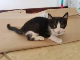 Adoção de filhote de gato macho