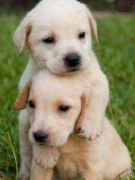 Labrador a pronta entrega com garantias inclusas em contrato