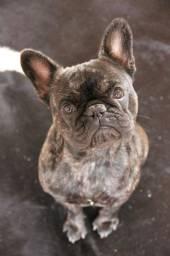 Bulldog francês robusto