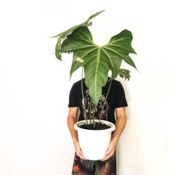 Planta Anthurium Macrolobium (Anthurium Batman)