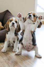 lindos filhotes de Beagle