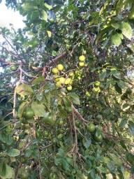 Vendo limão rosa conhecido como limão tangerina