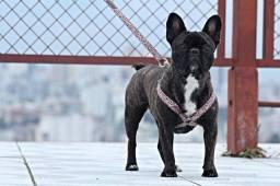 Lindos Filhotes De Bulldog francês Somente Fêmeas