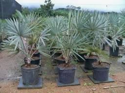 Mudas da palmeira azul 1.5 mt