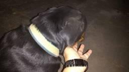 Vendo cachorra Rottweiler pura.