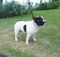 Bulldog francês disponível para cobertura em Mogi Guaçu *