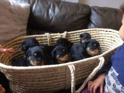 Rottweiler - Filhotes maravilhosos disponiveis