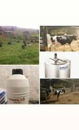 Vacas girolando de alta procedência genética.