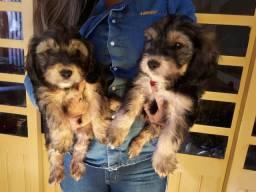 Filhotes de cocker spaniel com poodle