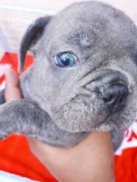 Buldogue francês macho blue