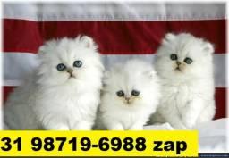 Gatil em BH Filhotes Selecionados de Gatos Persa Siamês ou Angora
