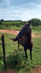 Vendo lindo cavalo preto