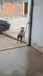 Vendo linda cachorra America Bully