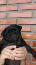 Bebês- Pug Black - padrão da raça