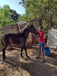 Cavalo Potro 4 patas preta tordilho
