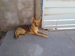 Cachorro pastor alemão R$500