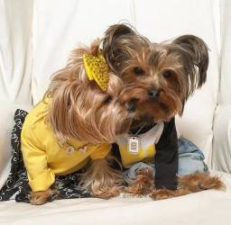 Yorkshire Terrier machos e fêmeas garantias exclusivas