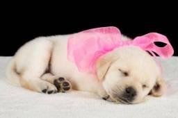 Labrador com pedigree pra reserva