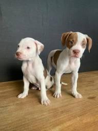 Pitbull seu cão de guarda e também para companhia